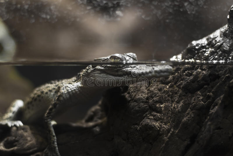 Fresh water crocodile. View of a partly immersed australian fresh water crocodile royalty free stock photography