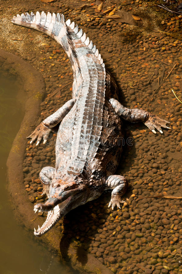 Fresh Water Crocodile. Sun Bathing With Its Mouth Wide Open stock images