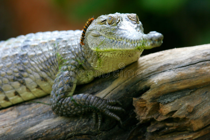 Fresh Water Crocodile. A shot of a Fresh Water Crocodile in the wild royalty free stock images