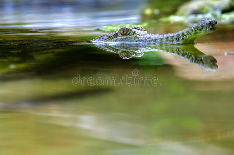 Fresh Water Crocodile. A shot of a Fresh Water Crocodile in the wild royalty free stock photo
