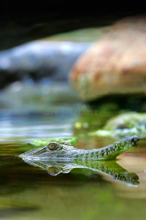 Download Fresh Water Crocodile stock image. Image of reflection - 4134343