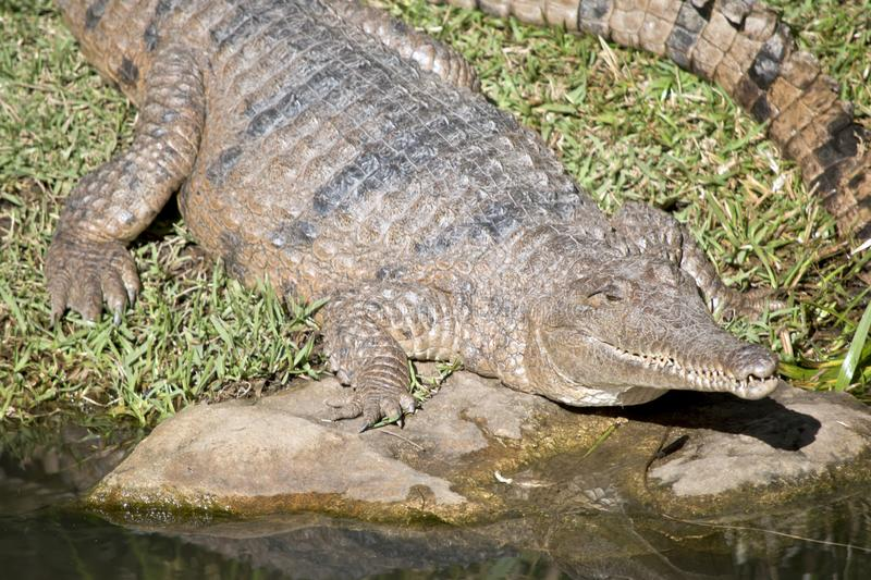 Fresh water crocodile. This is a close up of a fresh water crocodile stock photography