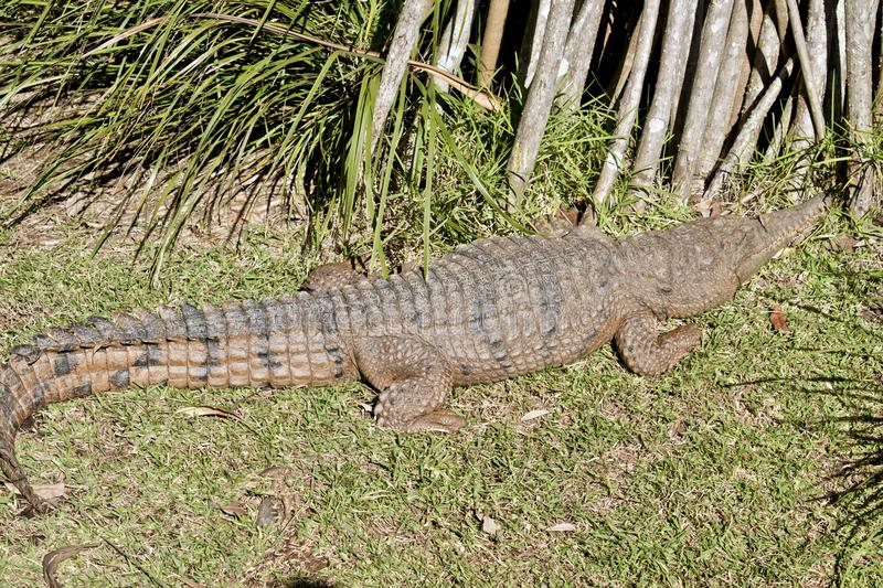 Fresh water crocodile. The fresh water crocodile is sunning on the grass stock photo
