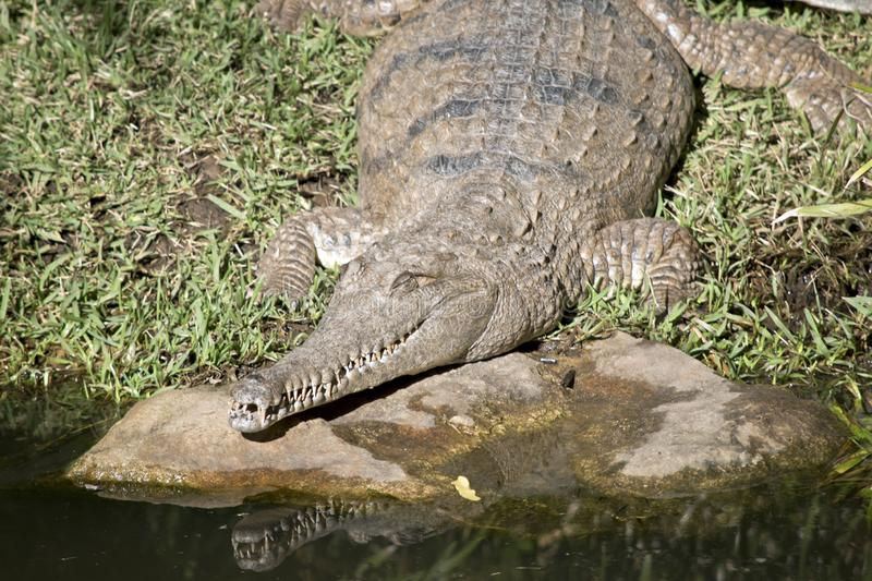 Fresh water crocodile. The fresh water crocodile is going into the water stock photo