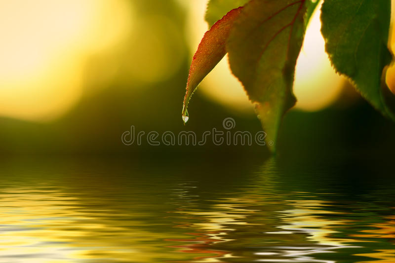 Fresh water drop. Nature dew on green leaf stock photography