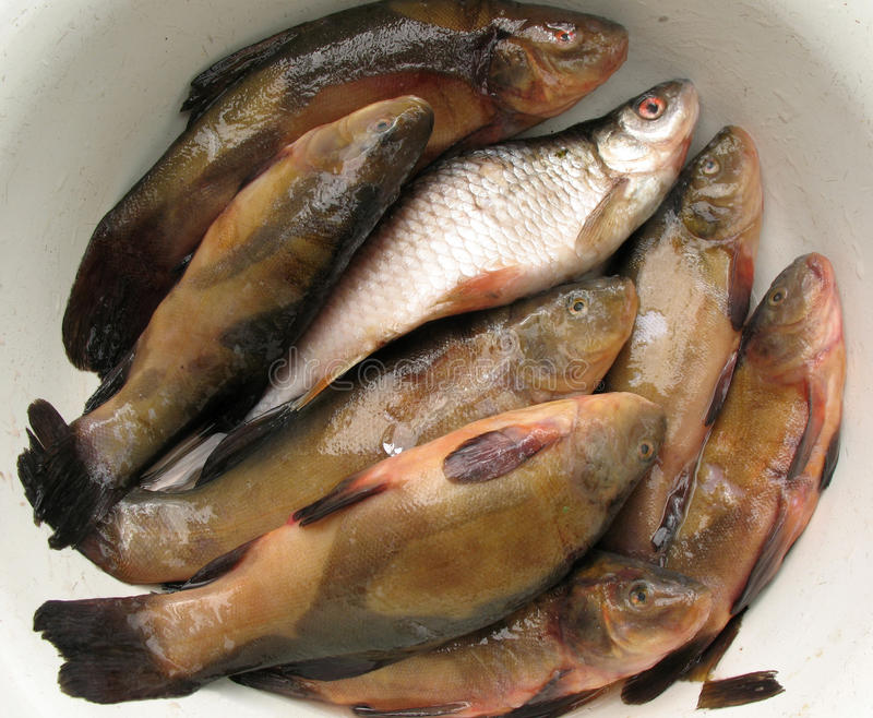 Download Fresh Water Fish Royalty Free Stock Photos - Image: 22809348