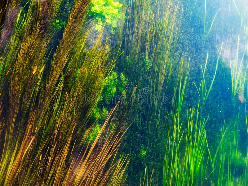 Lush underwater flora. Underwater flora scenery , in evidence different shades of green-blue -yellow colors stock photography