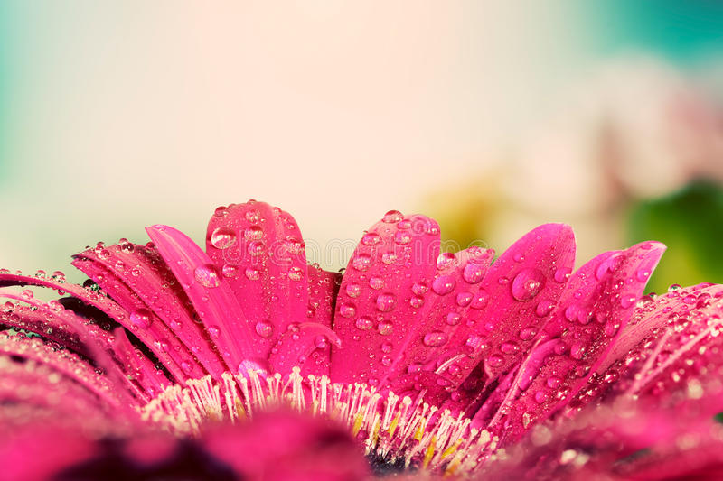 Fresh wet gerbera flower close-up at spring. Vintage stock photos