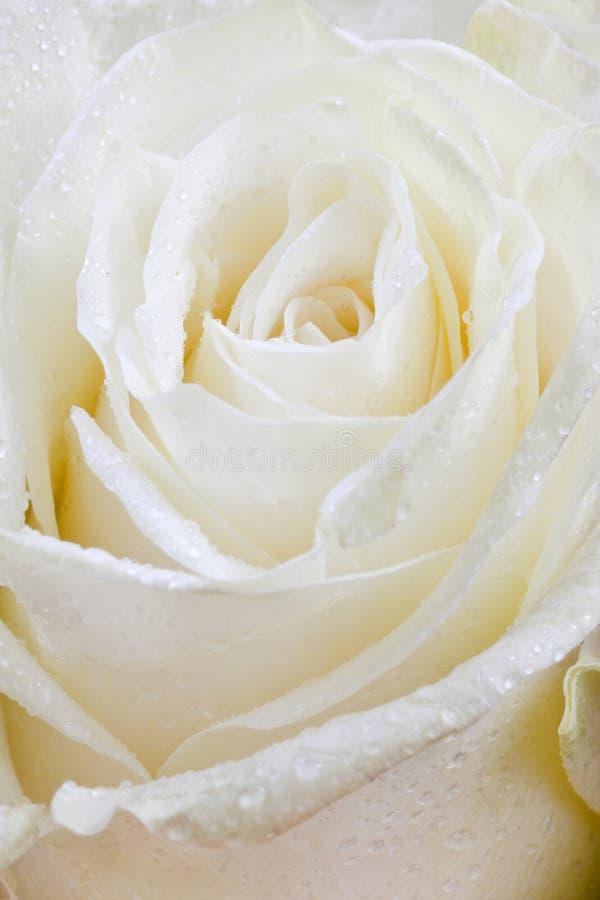 Download Fresh wet white rose stock photo. Image of nature, fresh - 25204216