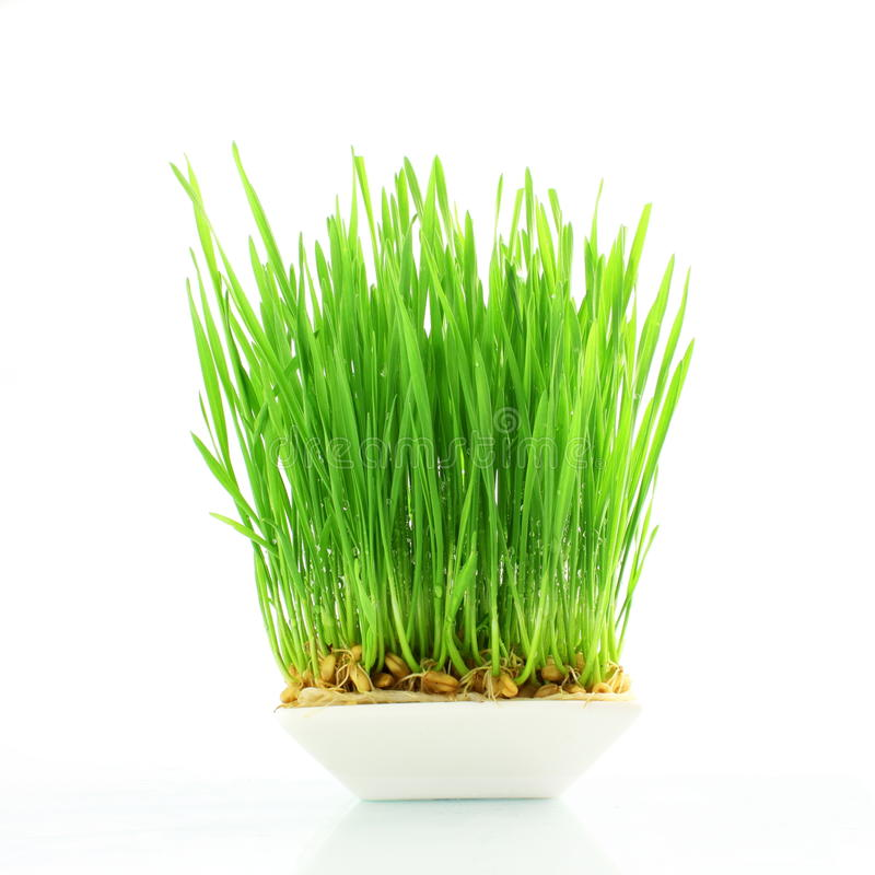 Fresh wheat grass sprouted in white background. Fresh wheat grass sprouted closeup in white background stock photos