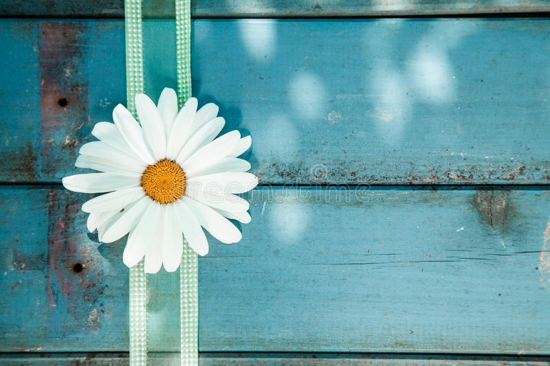 Fresh white daisy on blue wooden planks. Fresh white summer daisy with a decorative festive ribbon on blue painted wooden planks with copyspace stock photography