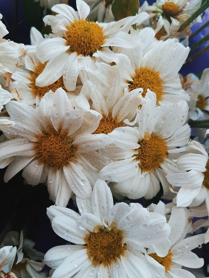 Fresh white daisy stock photo