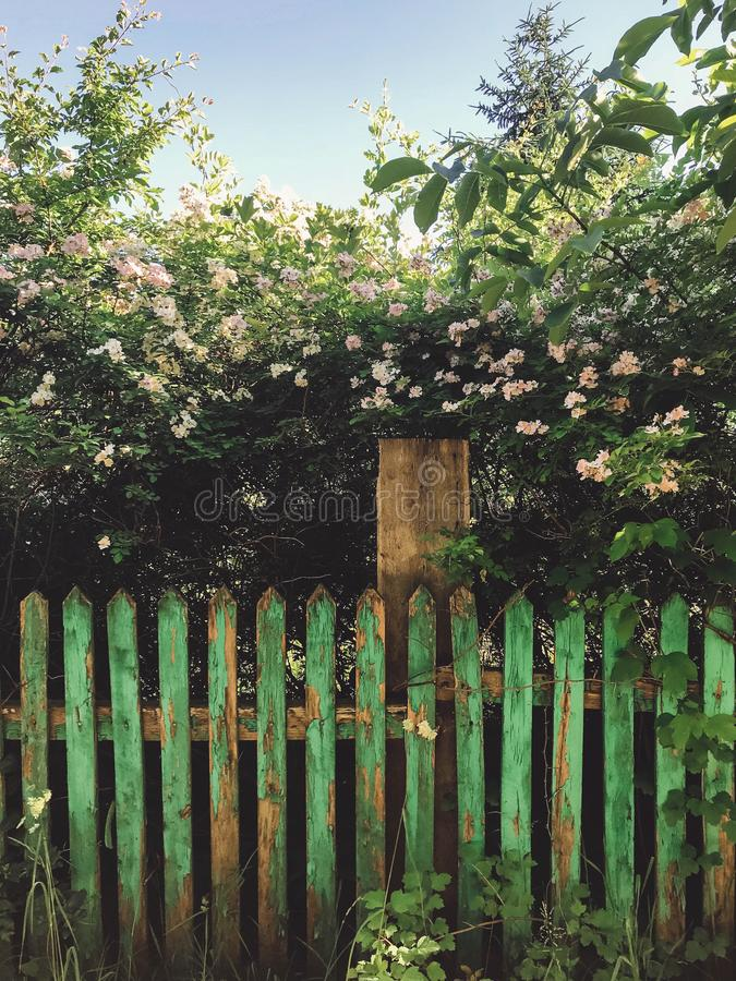Fresh white flowers and green leaves on old wooden fence,clematis, jasmine or wild rose bush. Beautiful tender shrub with flowers royalty free stock images
