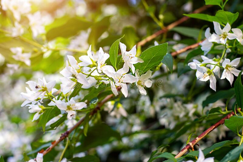 Fresh white jasmine plant flowers on green leaves background blossom in the garden in spring. royalty free stock photos