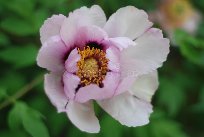 Fresh White Pink Peony Flowers Spring in Garden Park Outdoor. White Pink Peony Flowers Spring in Garden Park Outdoor stock photography