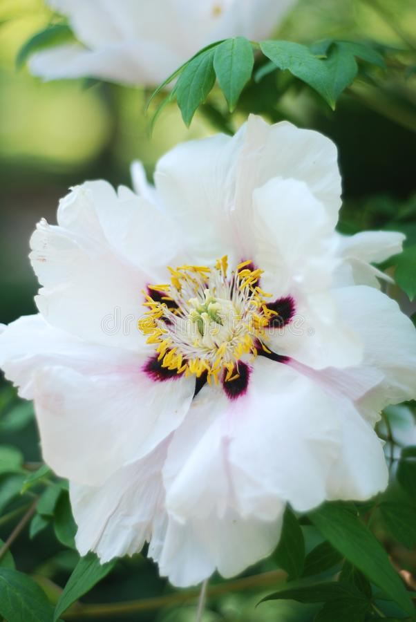 Fresh White Pink Peony Flowers Spring in Garden Park Outdoor. White Pink Peony Flowers Spring in Garden Park Outdoor royalty free stock image