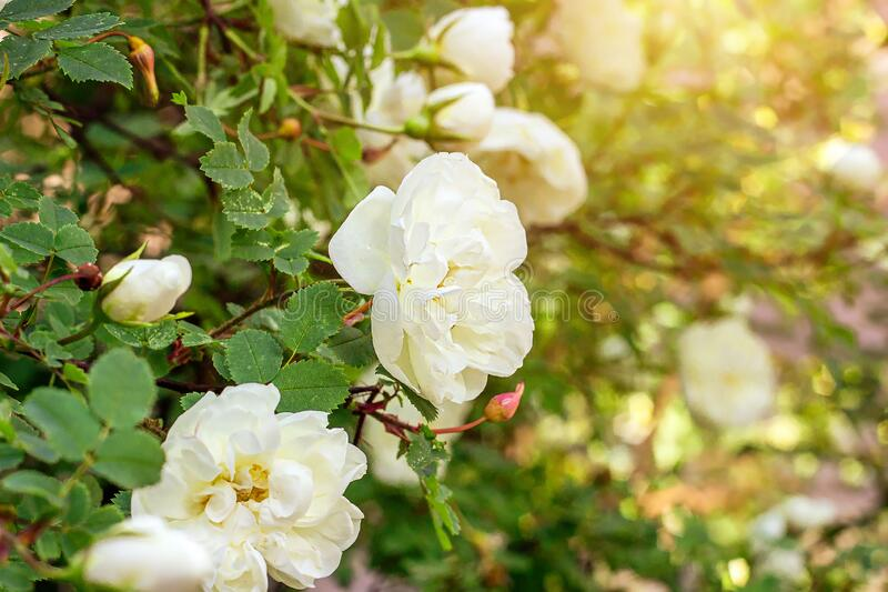 Fresh white roses on bright green leaves background in the garden in spring on a sunny day. royalty free stock photo