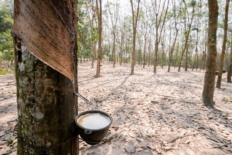 Fresh white rubber latex flows from the rubber tree. Into the cup in the rubber plantation stock photography