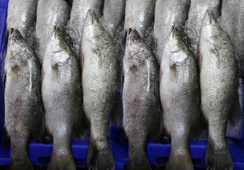 Fresh white sea bass fish or Asian seabass in the market royalty free stock images