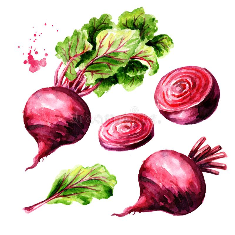 Fresh whole and half Beet root with green leaves and slice set. Watercolor hand drawn illustration isolated on white background royalty free illustration