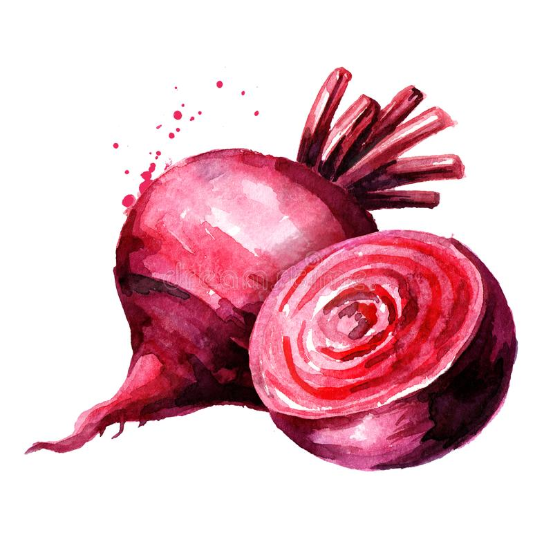 Fresh whole and half Beet root. Watercolor hand drawn illustration, isolated on white background vector illustration