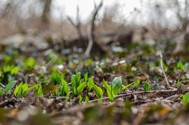 fresh wild garlic in spring stock image