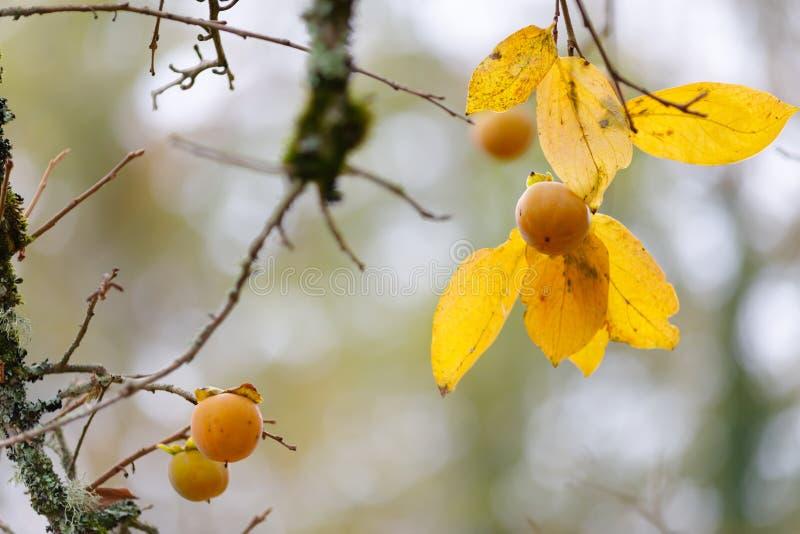 Fresh wild Kaki fruits royalty free stock photography