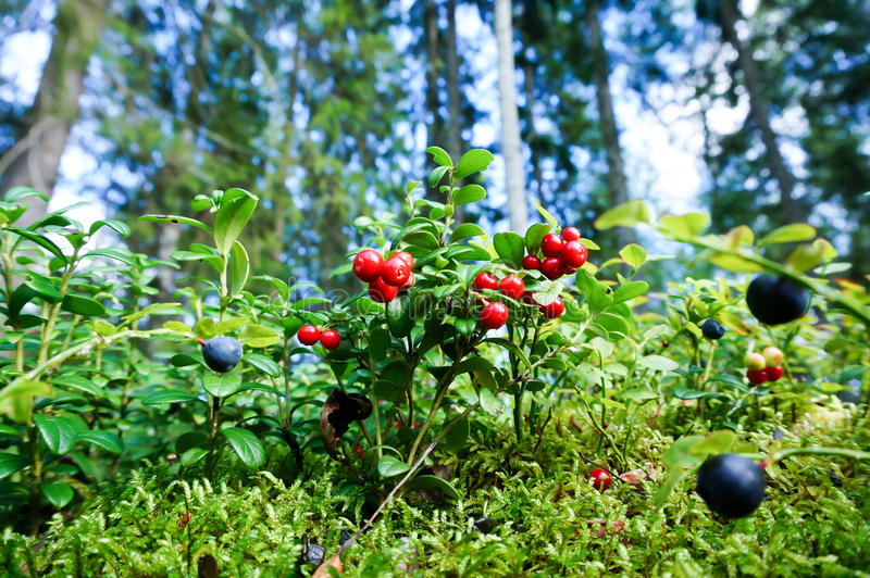 Fresh wild lingonberry in forest. Vaccinium vitis-idaea (lingonberry, partridgeberry or cowberry). Fresh wild lingonberry in forest. Organic lingonberry. Nature stock photos