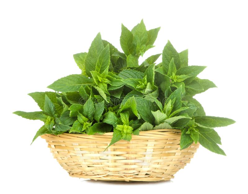 Fresh wild mint leaves in a basket. herbs mint. on white isolated background. close-up royalty free stock image