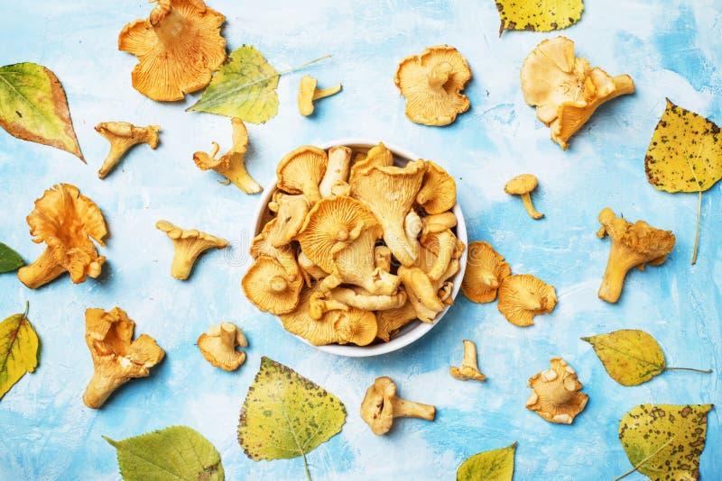 Fresh wild mushrooms chanterelles, blue background with autumn l royalty free stock photo