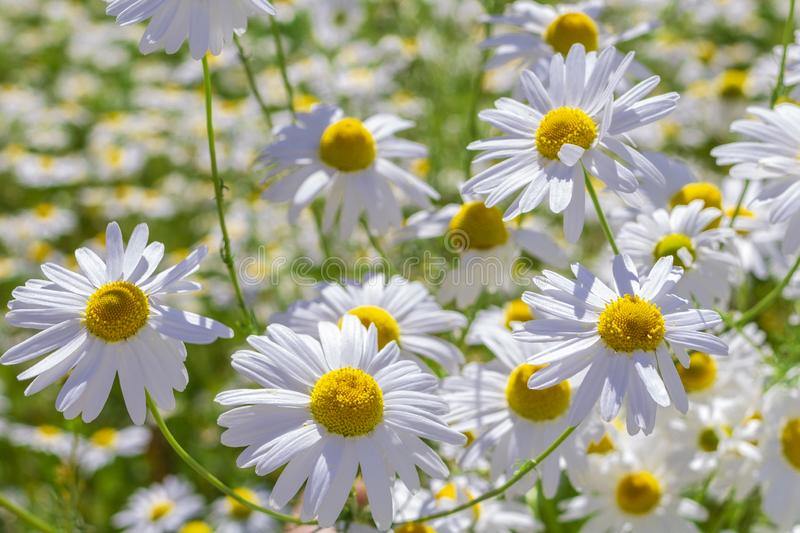 Fresh wild white and yellow daisies in a green field. In the spring on a sunny day in Russia, daisy, beautiful, flower, meadow, nature, plant, summer, blossom stock photos