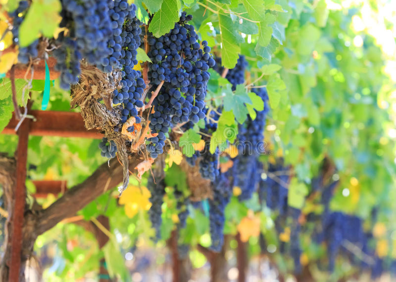 Download Fresh wine grapes stock photo. Image of plants, grow - 27097028
