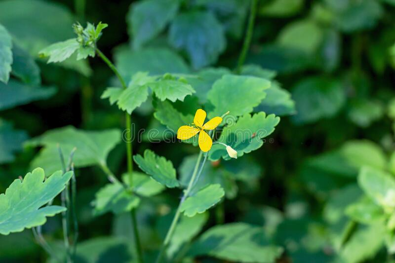 Fresh yellow celandine Chelidonium major wild flowes in the forest in spring season on green leaves background. stock photo