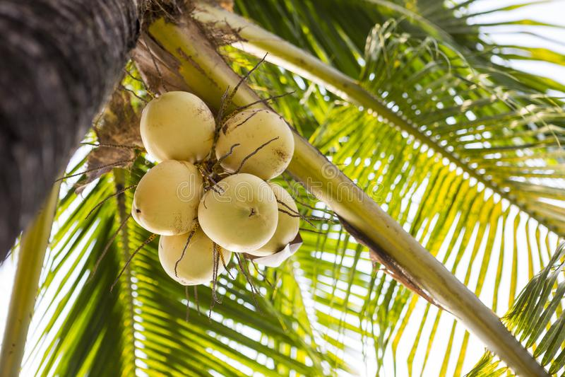 Fresh yellow coconut fruit on the tree under the setting sun. Dwarf coconut in Thailand stock image