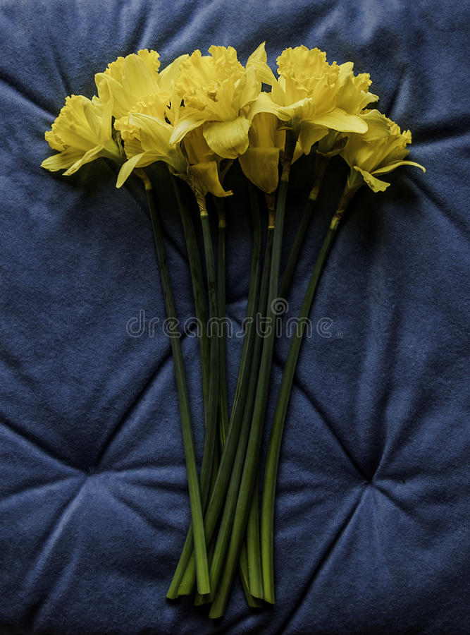 Fresh yellow jonquil on a blue background royalty free stock photo