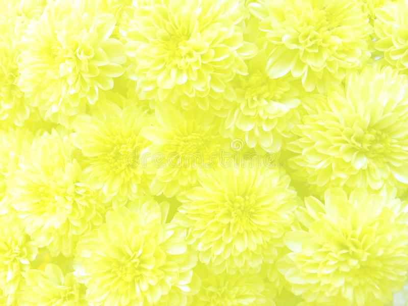 Fresh yellow marigold flower with ivory light cover background. royalty free stock photo