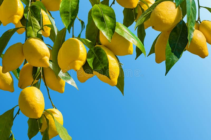 Fresh yellow ripe lemons with green leaves royalty free stock photo