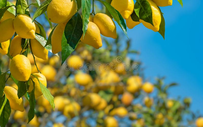 Fresh yellow ripe lemons with green leaves on lemon tree branches  in sunny weather stock image