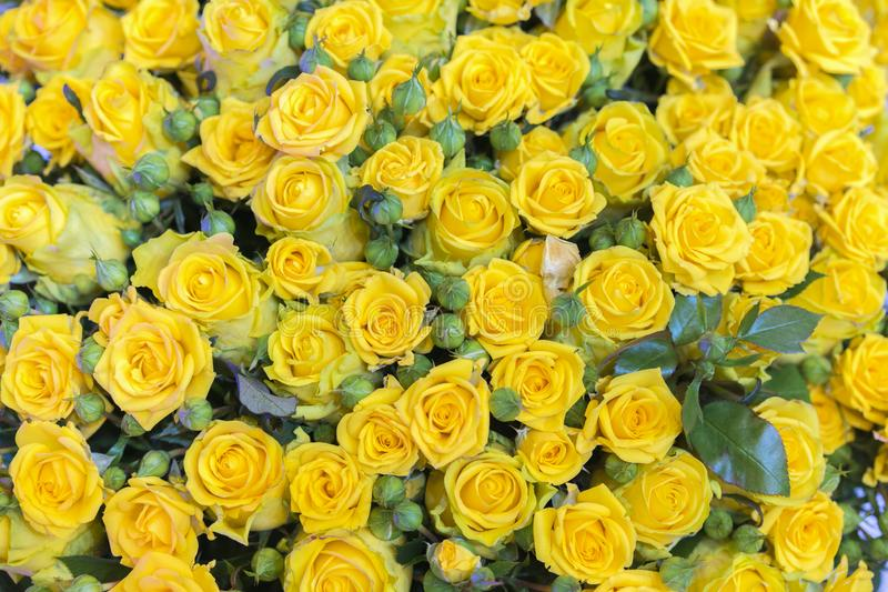 Fresh yellow roses bouquet flower background. Surface of yellow beautiful roses in drops of dew. Background of roses. Screensaver royalty free stock image