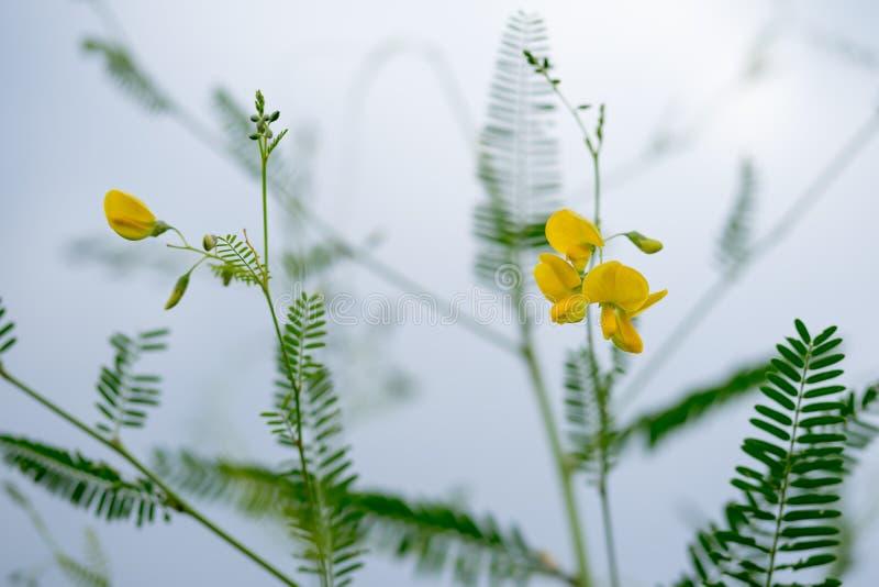 Fresh yellow Sesbania flowers tree are full bloom stock photos