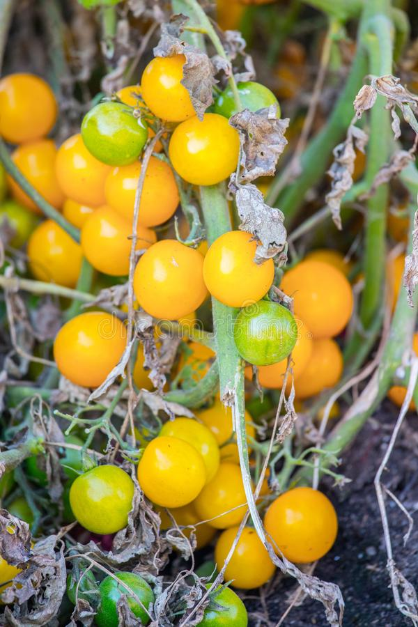 Fresh yellow tomatoes, urban gardening. Glasshouse vegetable food juicy healthy vegetarian plant organic freshness ingredient vitamin raw natural shiny colors royalty free stock image
