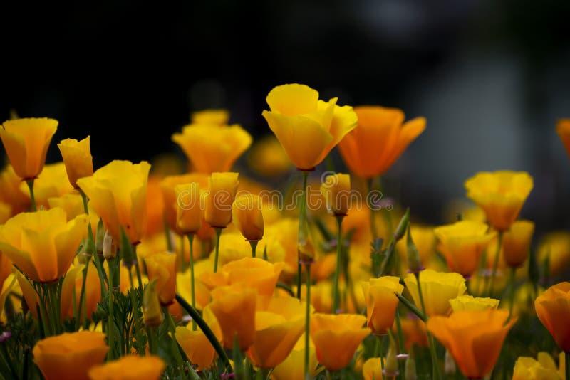 Fresh yellow tulips stock image