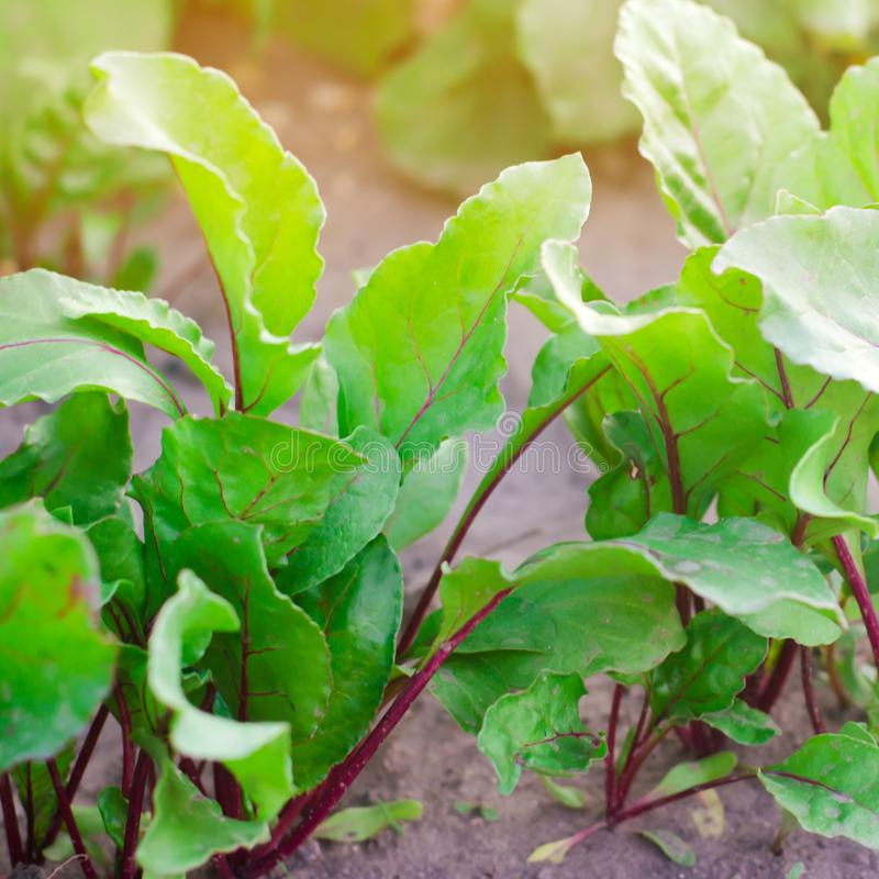 Fresh young beets growing in the garden. green leaves. useful vegetables and vitamins. agriculture stock photo