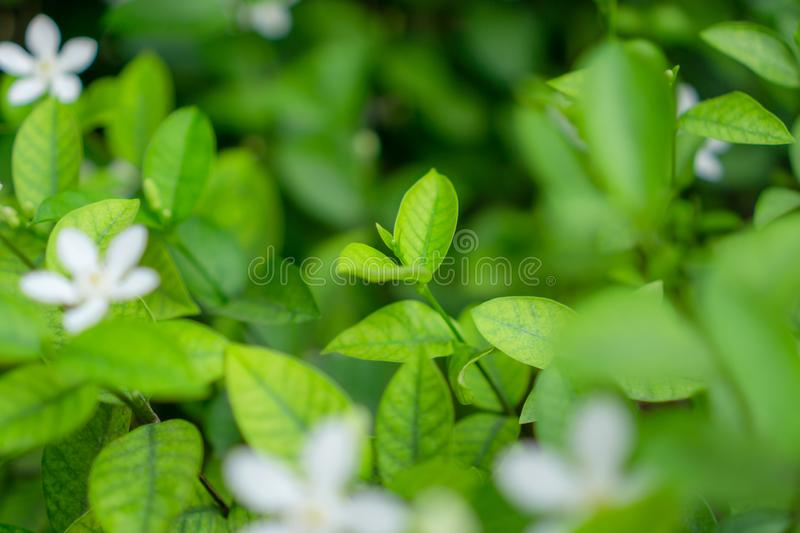 Fresh young bud soft green leaves blossom on natural greenery plant and white flower blurred background under sunlight in garden royalty free stock image