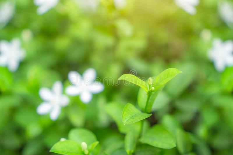Fresh young bud soft green leaves blossom on natural greenery plant and white flower blurred background under sunlight in garden royalty free stock photography
