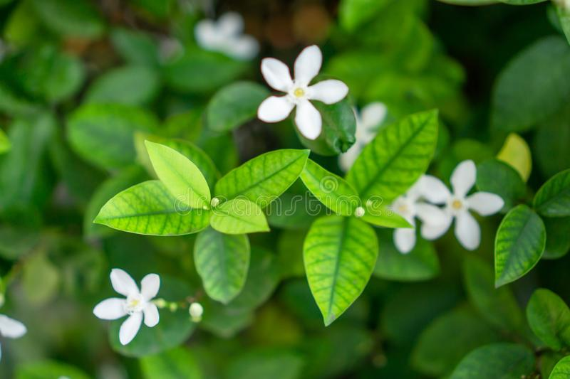 Fresh young bud soft green leaves blossom on natural greenery plant and white flower blurred background under sunlight in garden stock images
