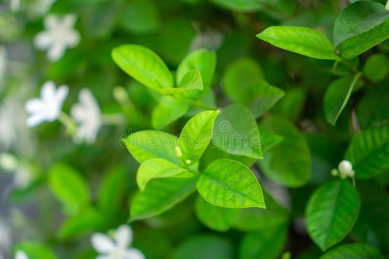 Fresh young bud soft green leaves blossom on natural greenery plant and white flower blurred background under sunlight in garden. Abstract image from nature stock image