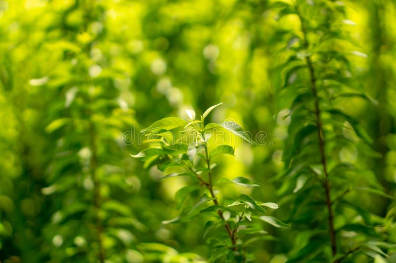 Fresh young bud soft green leaves of Wrightia religiosa variegata plant spreading on blurred background under sunlight in garden stock images