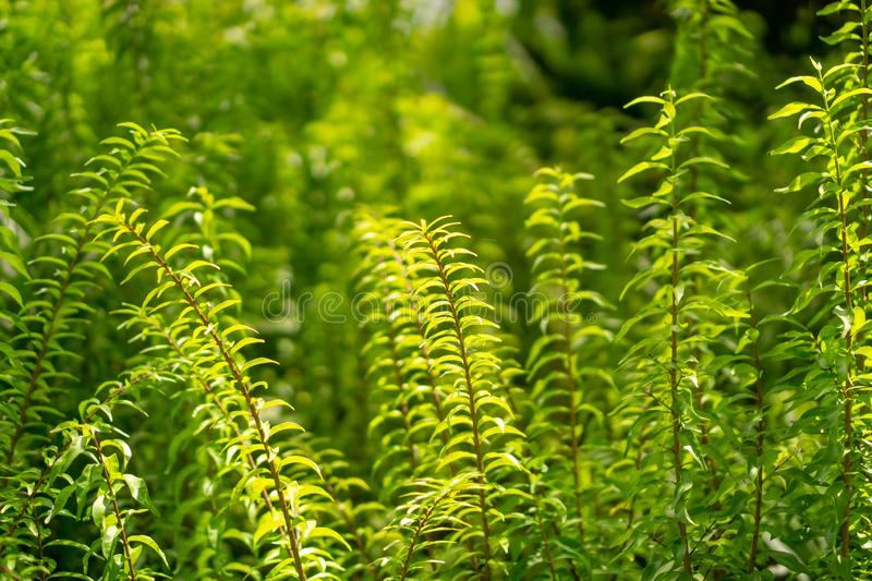 Fresh young bud soft green leaves of Wrightia religiosa variegata plant spreading on blurred background under sunlight in garden stock photo