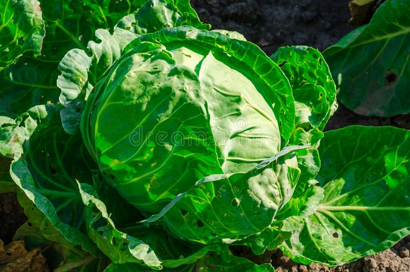 Fresh young cabbage head on the vegetable bed. Diet food concept.  stock photography